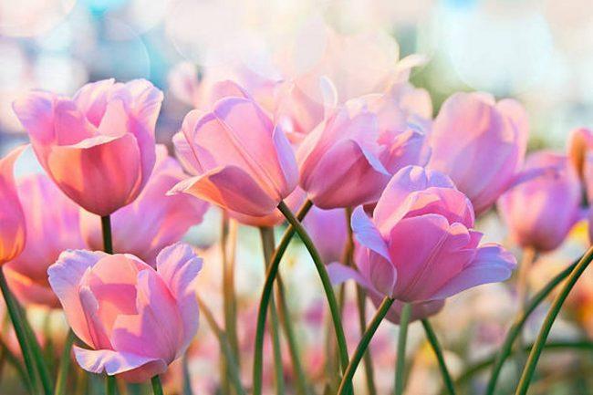 y nghia hoa tuy lip